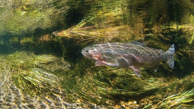 Bechler River Rainbow Trout