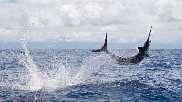 Black Marlin in Piñas Bay, Panama