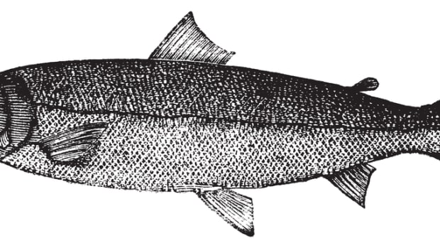 Atlantic salmon, Salmon salar, Bay salmon, Black salmon, Caplin-scull salmon, Fiddler, Grilse , Grilt, Kelt, Slink, Smolt, Sebago salmon, Winnish or Landlocked salmon engraving. Trousset 1886 - 1891