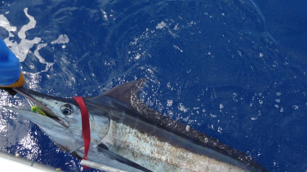 The BBC is the oldest billfish tournament series in the world.