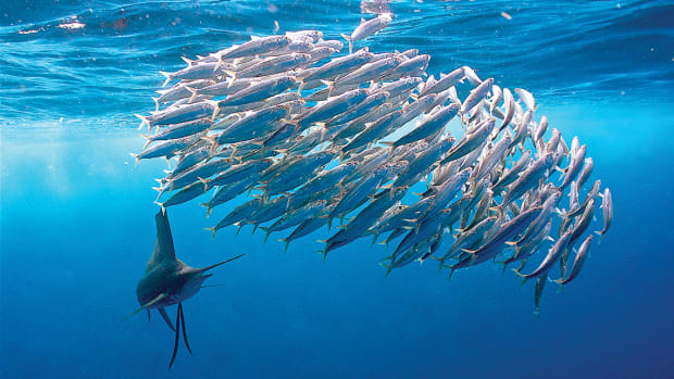 Sailfish with baitball