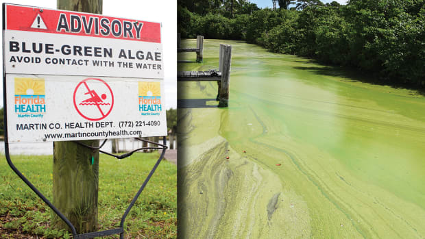 One of the worst algae blooms in memory fouled the St. Lucie River and Indian River Lagoon this summer, killing a variety of marine life, from fish to seagrass.