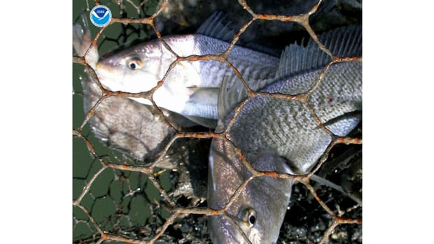 "Impact of ""Ghost Fishing"" via Derelict Fishing Gear"