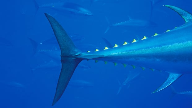Bluefin tuna (Thunnus thynnus) in tow pen, shot off the Turkey coast.