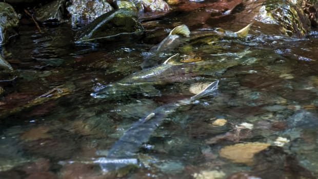 A long journey is almost complete for these native chum salmon.