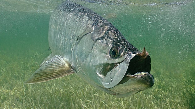 Tarpon photo by Pat Ford