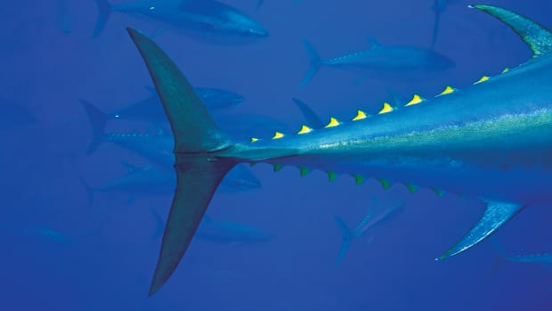 prm-bluefin-tuna-gaffe