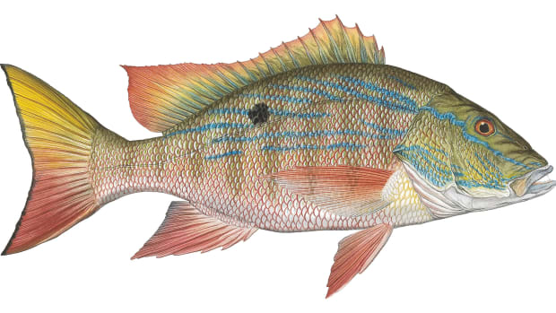 prm-Mutton-Snapper