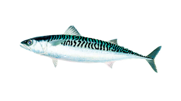 Tinker Mackerel