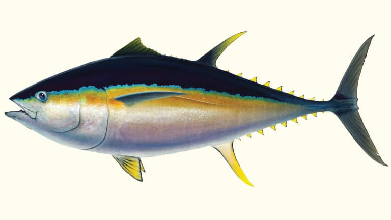 Bigeye, Tuna with an Attitude