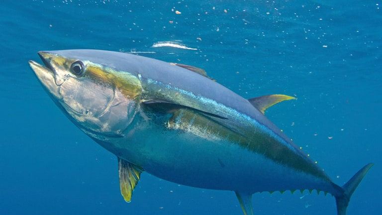 the how where and why of fishing for yellowfin tuna anglers