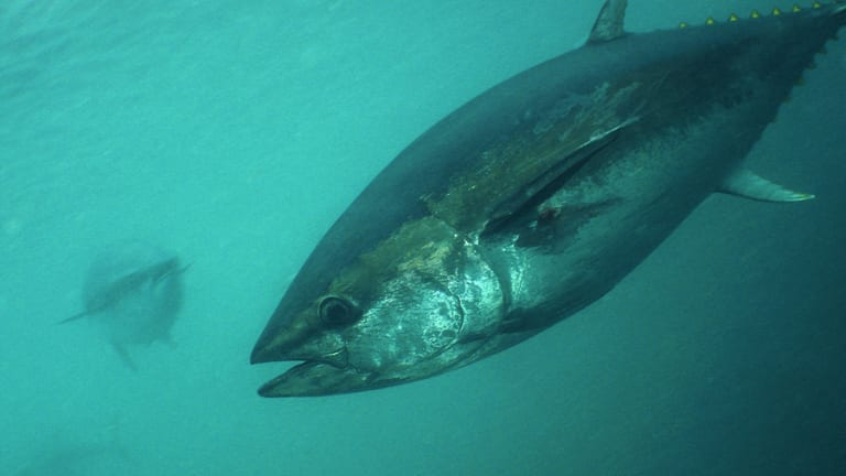 Tuna researcher calls out 'enviro bully' on study