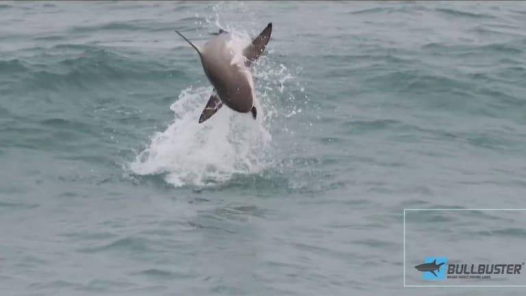 Plug-Smashing Sharks