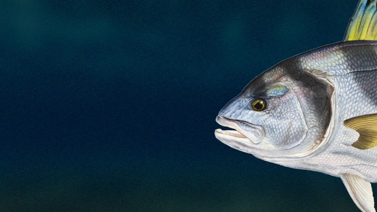 Fish Favorites: Roosterfish
