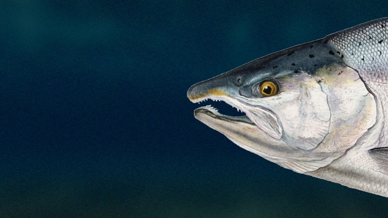 Fish Favorites: Coho Salmon
