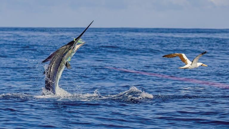 Darwin's Marlin