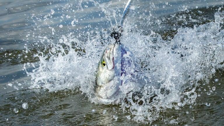 Bluefish: Chaotic Fierceness