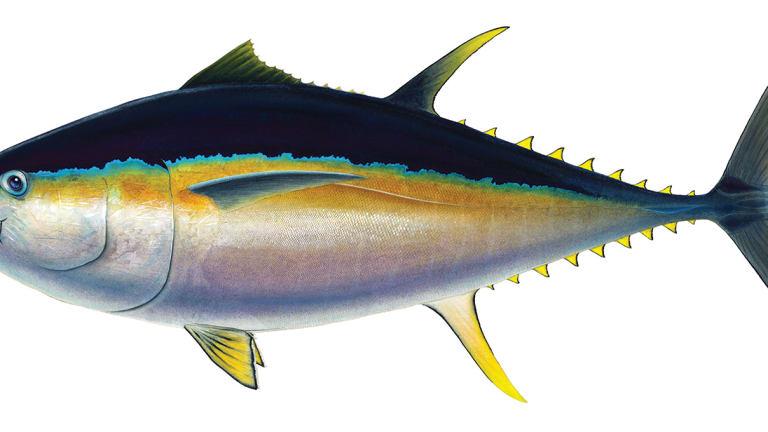 Bigeye Tuna: Unmatched Stamina