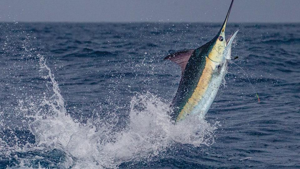 Blue Marlin: Pent-Up Violence