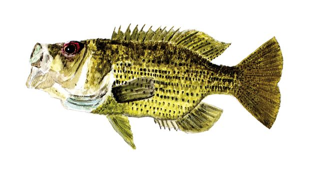 Loon Lake Rock Bass