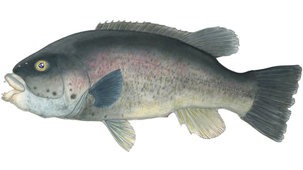 Tautog may not be the prettiest fish that swim, but they pull hard and have a devoted following.