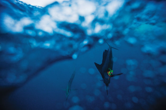 Blue marlin, Panama