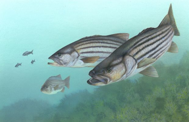 Forage fish play key role in ecosystem management