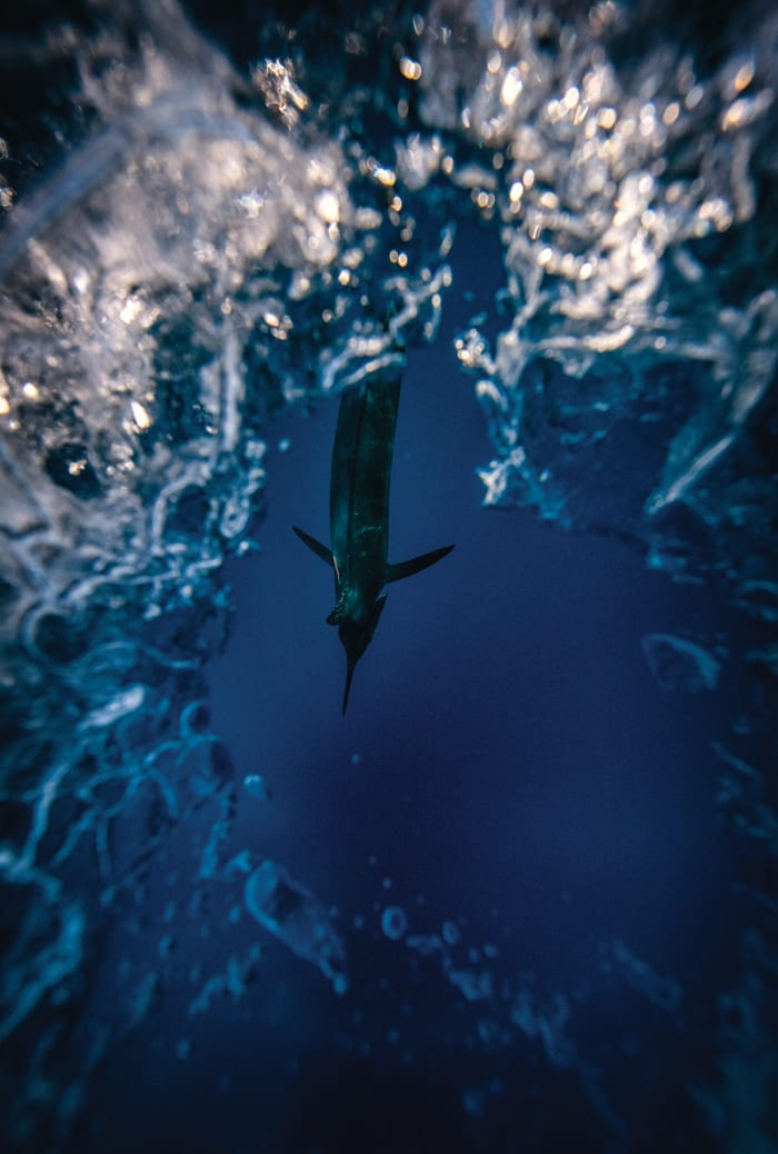 Blue Marlin underwater - Anglers Journal - A Fishing Life