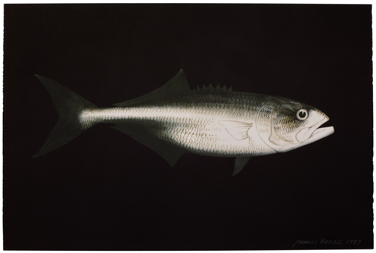 One of Jim Baker's series of bluefish drawings.