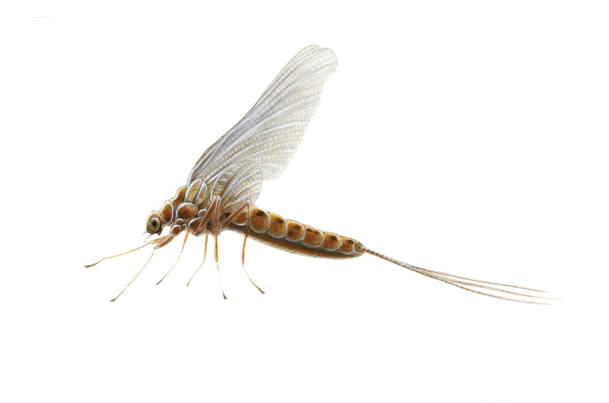 The gold and purple Hendrickson mayfly is a trout favorite.