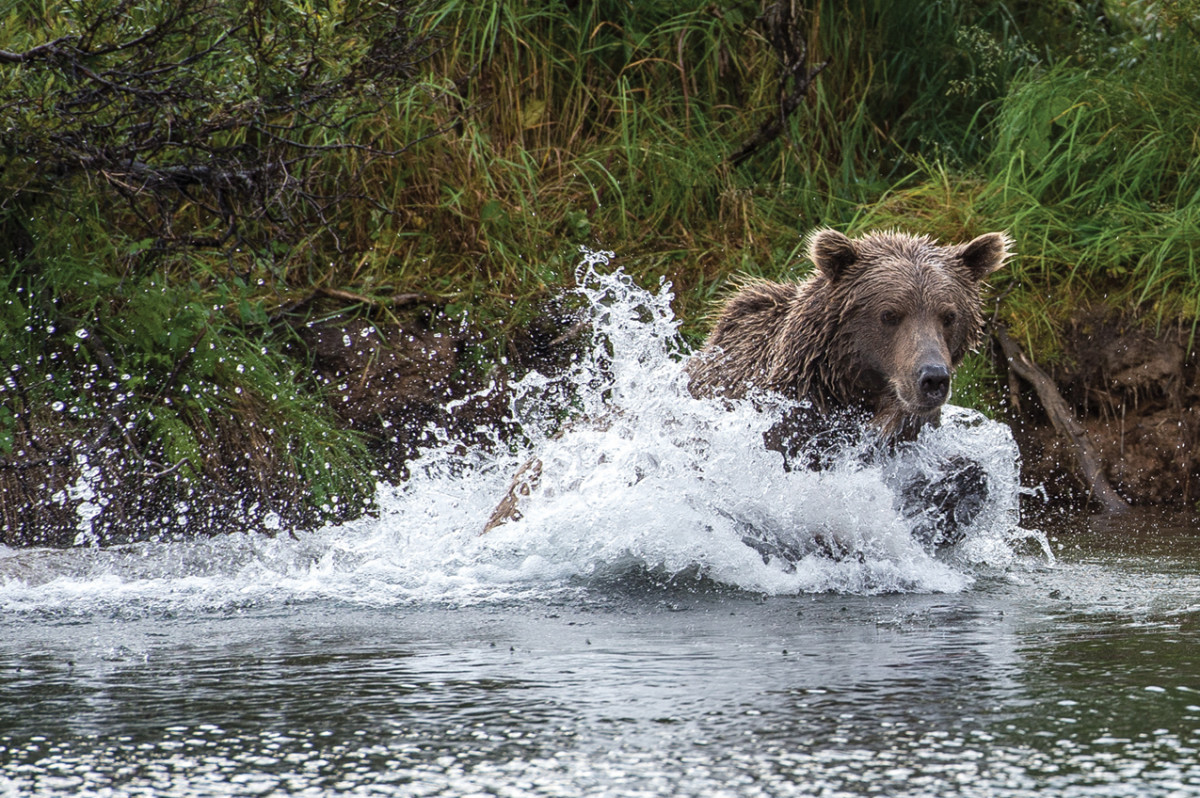 Bears and salmon, close at hand.