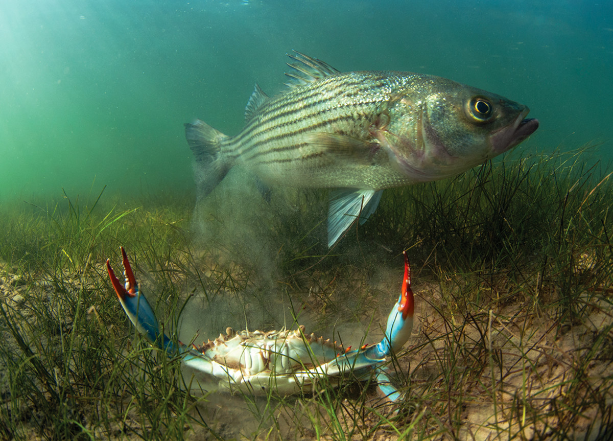 Compatriots: a rockfish and a blue crab in the shallows of Chesapeake Bay.
