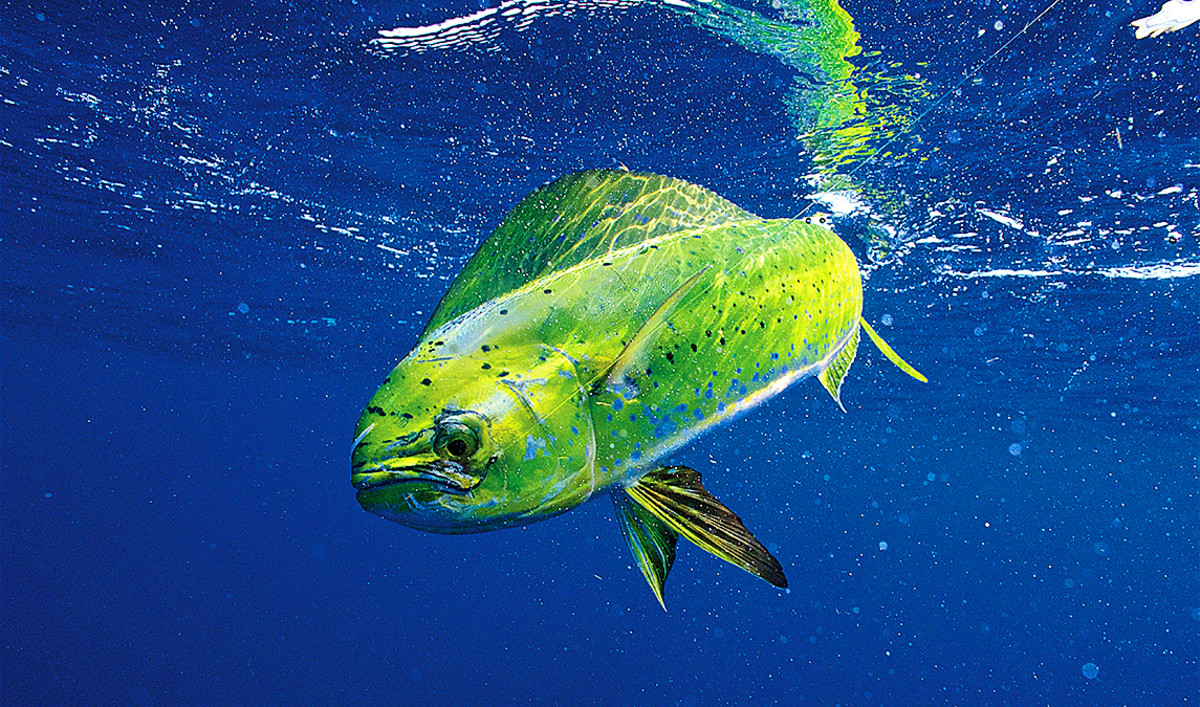 From skinny water to offshore grounds, the Keys are home to a host of species, including mahi. For more information on the Keys, visit fla-keys.com.