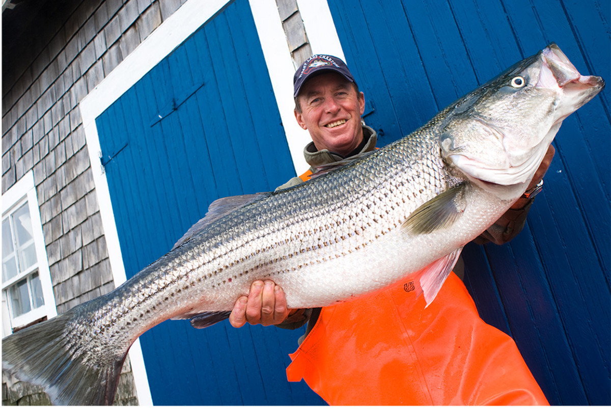 The striped bass remains the glamour fish of the contest.