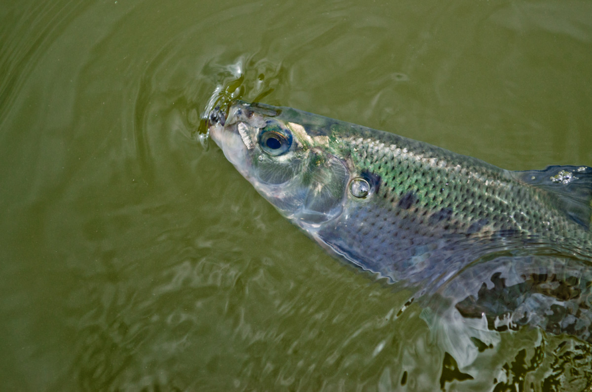 shad surface