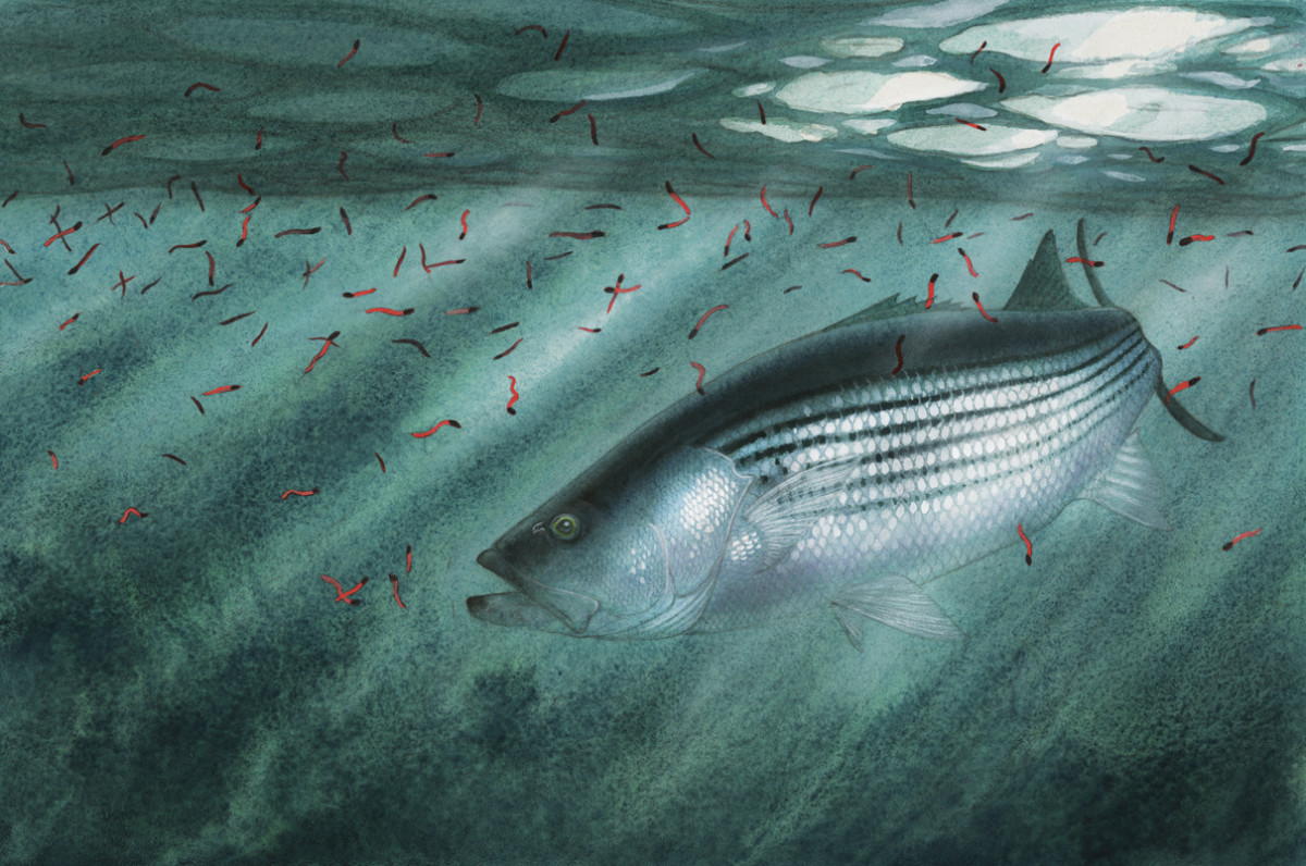 Spring action: stripers and cinder worms, depicted by artist Nick Mayer.