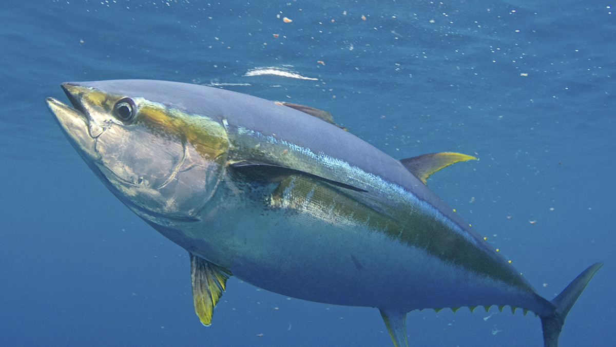 yellowfin-tuna.jpg