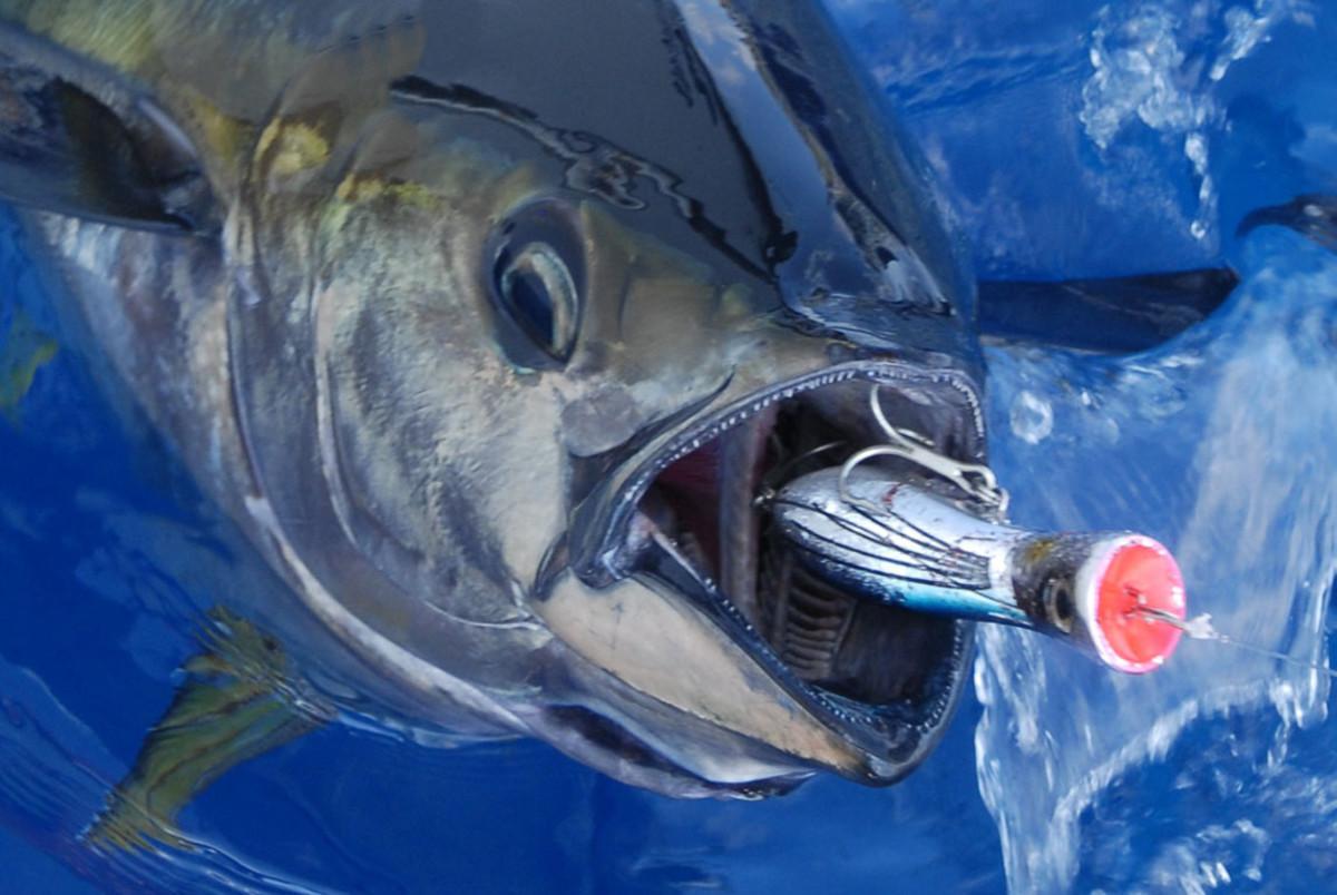 Yellowfin Tuna with plug