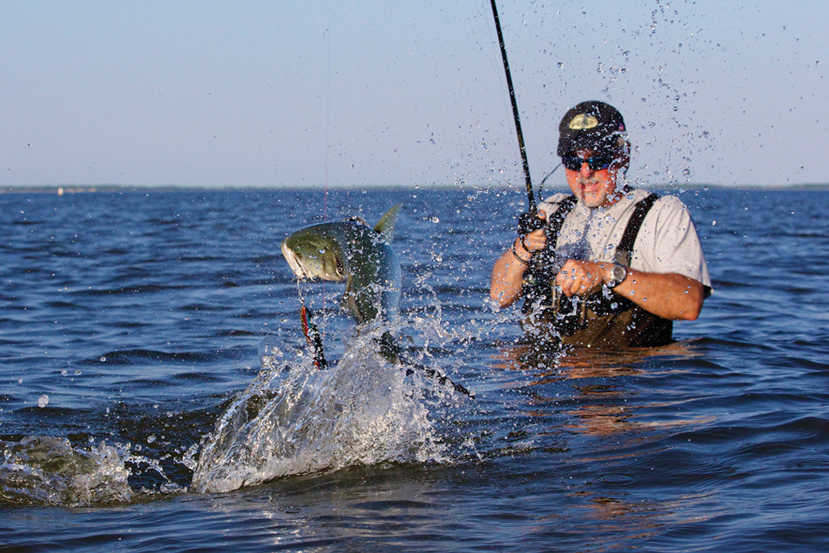 A bluefish explodes into the air.