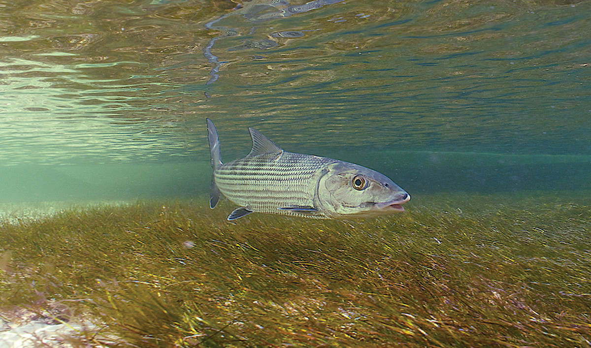 Some of the largest bonefish in the world are found on the flats around Islamorada.