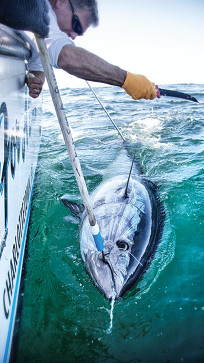 Once a tuna is measured, tagged and revived, the leader is cut and the fish is released.