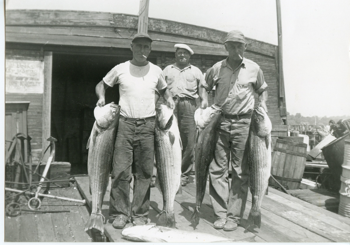 Back in the day: Bub Kohn (right) and his mate Charlie Assencio hoist a nice bunch of stripers on a covered barge in Great Kills Harbor.