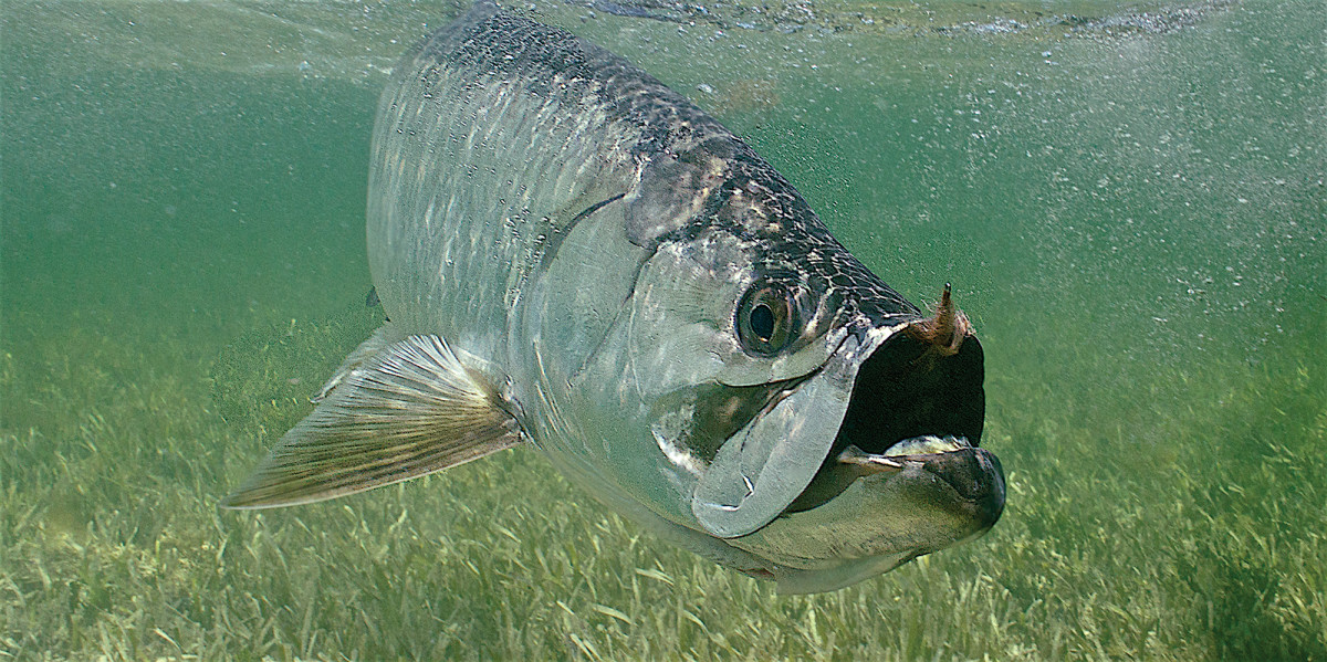 Spring brings tarpon fever to the Florida Gulf Coast and Keys, where ardent followers can think of little else.