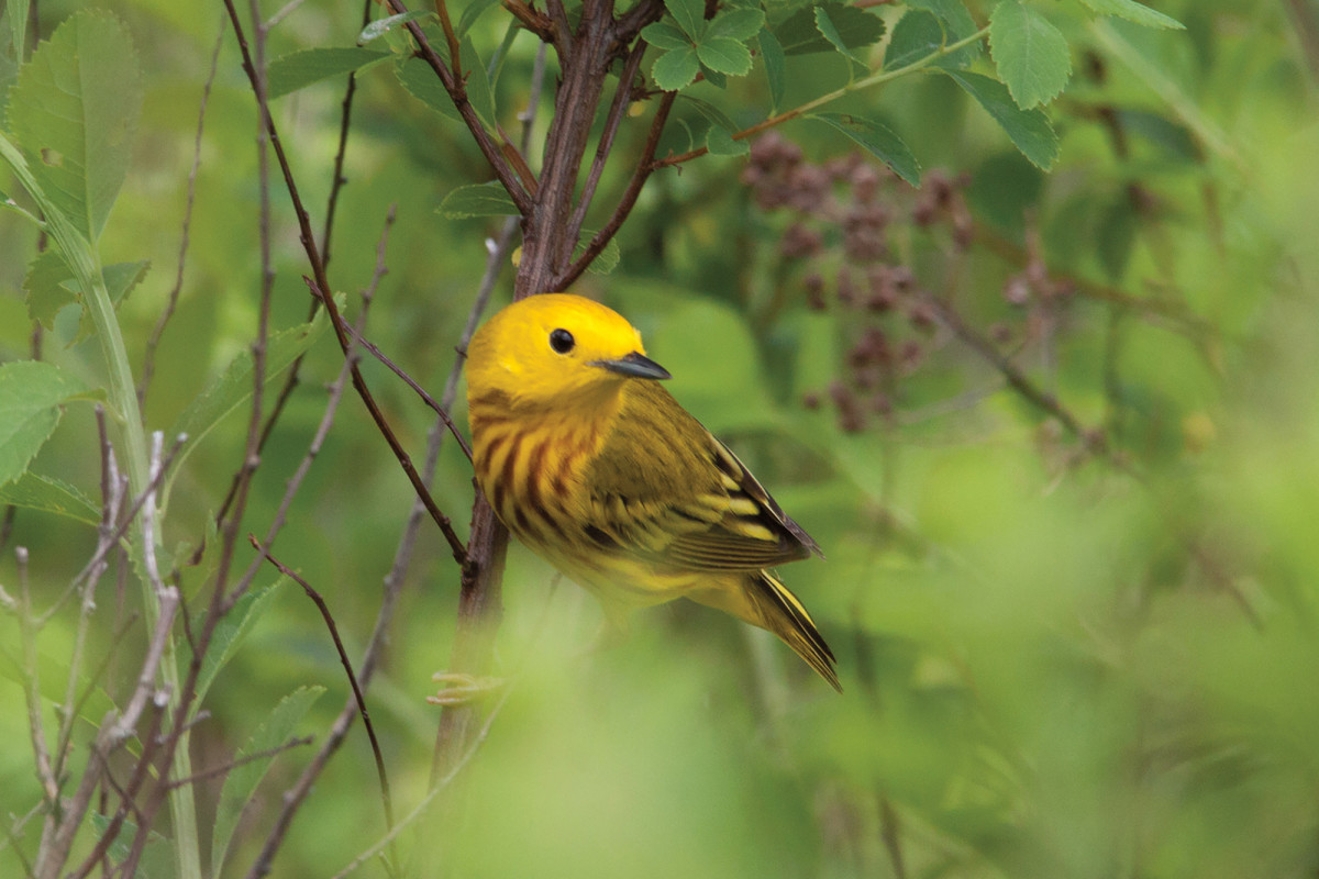 A yellow warbler is a streamside companion in spring.