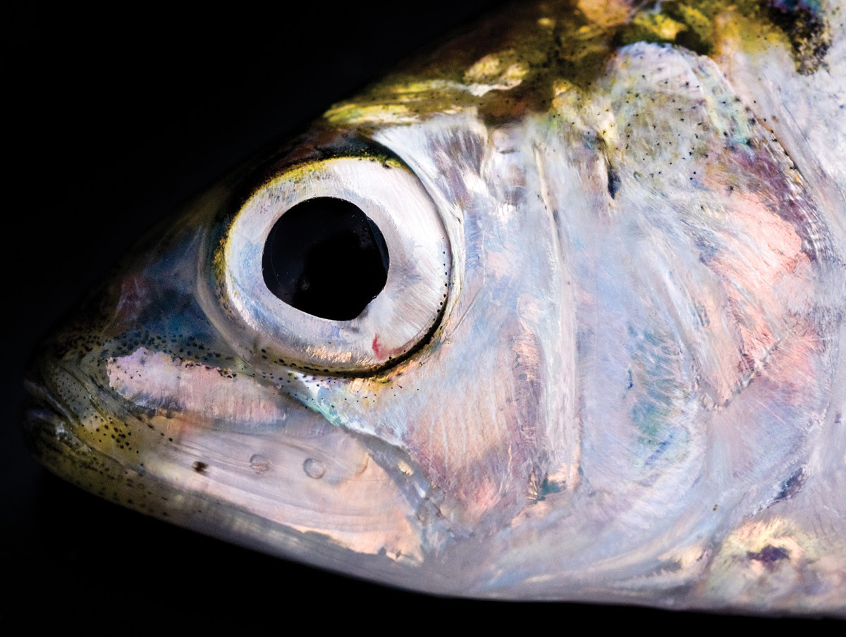 01-Shad - Anglers Journal © Jay Fleming01