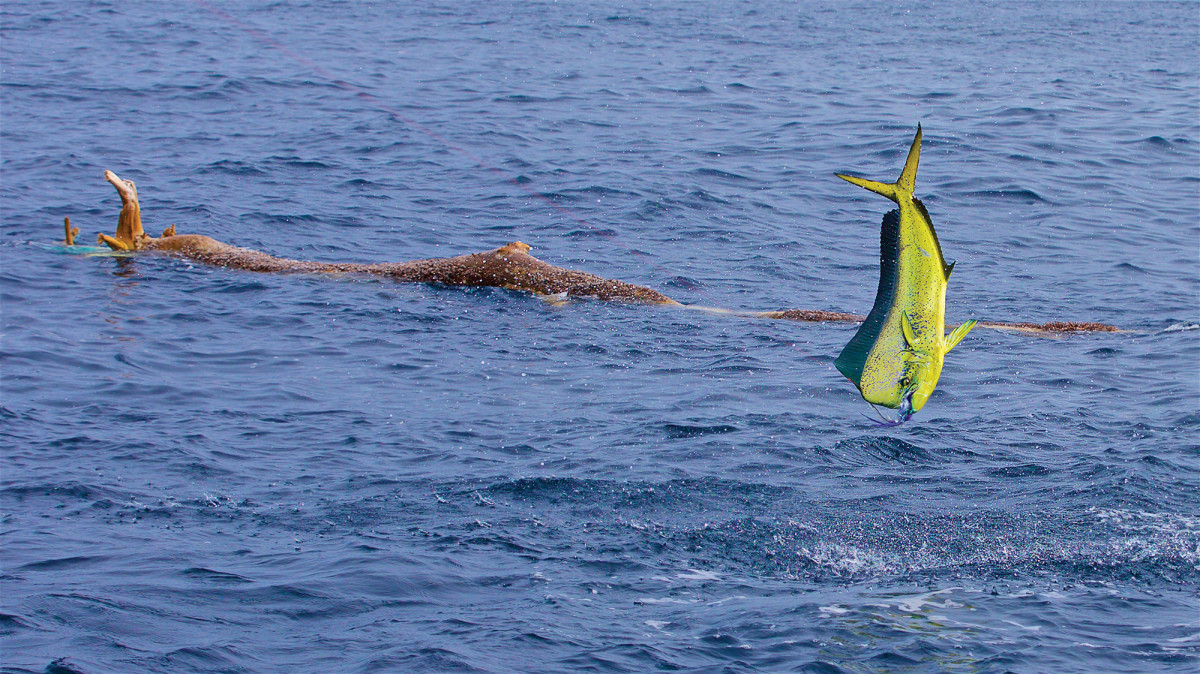 Mahi tend to hang around weed lines and floating debris, anything from trees to plastic jugs.
