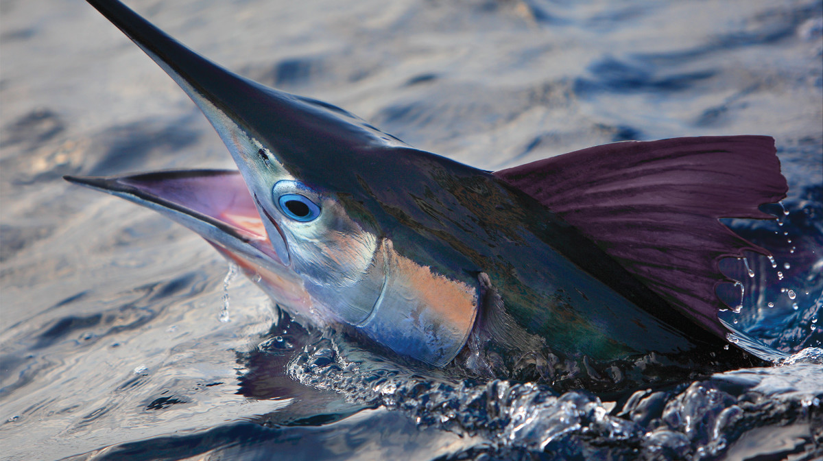 Eye Stopping Fishing For White Marlin In The Mid Atlantic Anglers Journal A Fishing Life