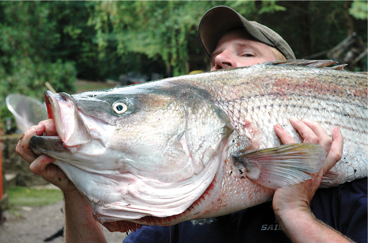 The striped bass record belongs to Greg Myerson, who captured this 82-pounder in Long Island Sound in 2011.