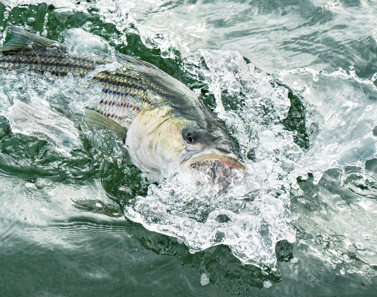 A nice striper moves some water