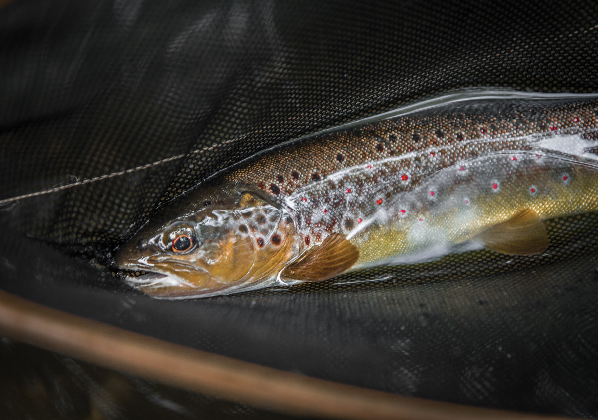 In time, small fish wouldn't suffice. The writer began fishing obsessively for a large brown trout.